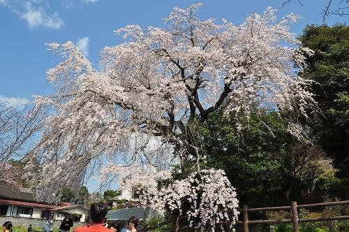 大原大しだれ桜2015.3.29