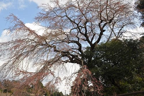大原大しだれ桜2015.3.24
