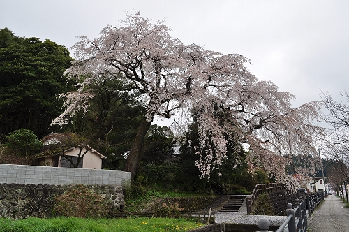 大原大しだれ桜2015.4.1