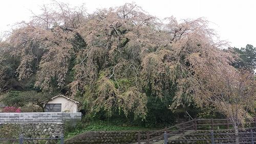 大原大しだれ桜2015.4.4