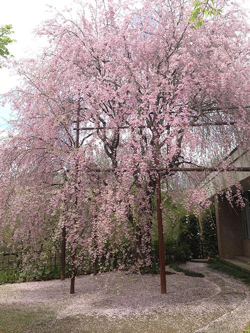 いいちこ日田蒸留所の紅しだれ桜♪