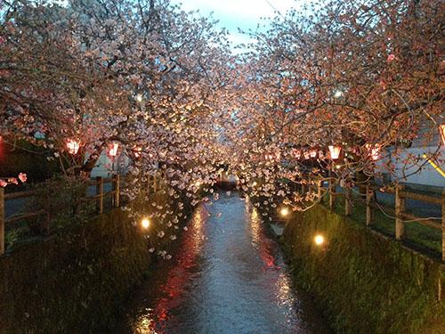 中野川八重桜♪
