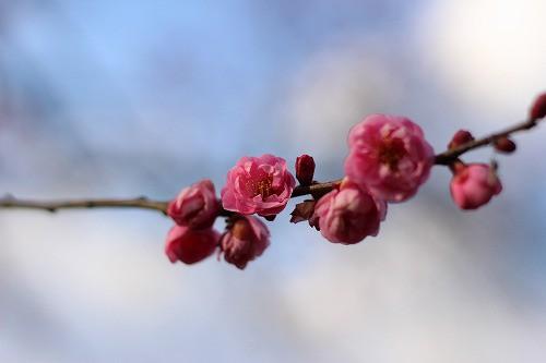 まだ寒そうにちぢこもった花びら