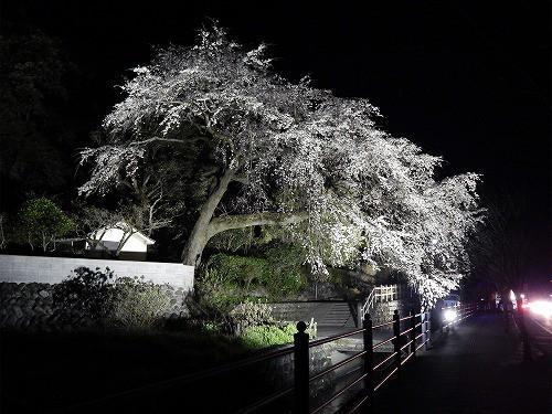 昨晩の大しだれ桜ライトアップ