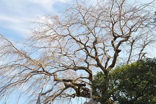 大原大しだれ桜2016.3.17