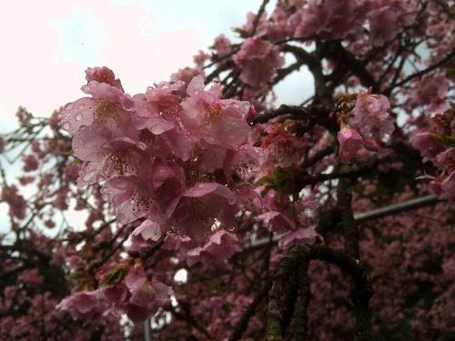 鮮やかなピンクを見せております