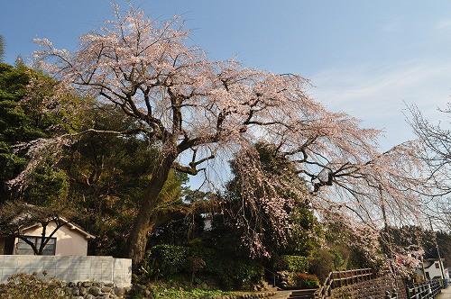 大原大しだれ桜2016.3.25