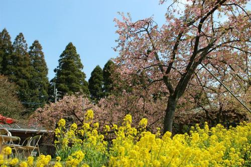 桜×菜の花×青空×緑