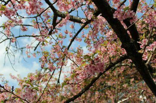 個人的には葉桜の方が好きです。