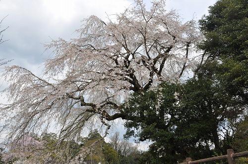 大原大しだれ桜2016.4.2