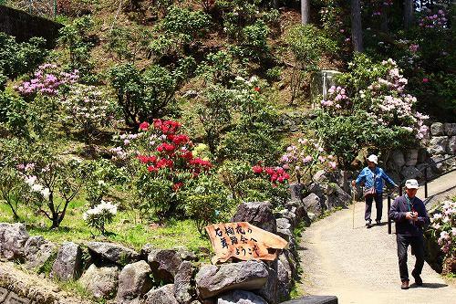 ※昨年撮影した 川津しゃくなげ園の写真。