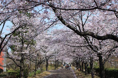 桜のトンネルは見物!!