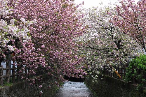 まだまだ見応えある桜風景!