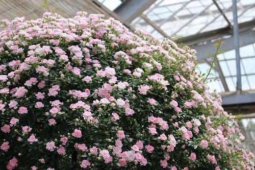 こんな咲き方をするバラも見れます。
