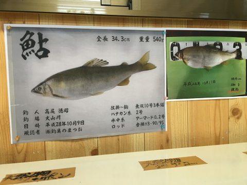こちらが日本記録の鮎魚拓